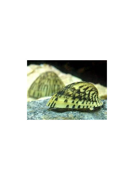 Septaria porcellana