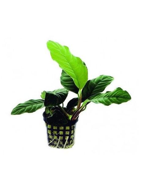 Anubias barteri coffeefolia