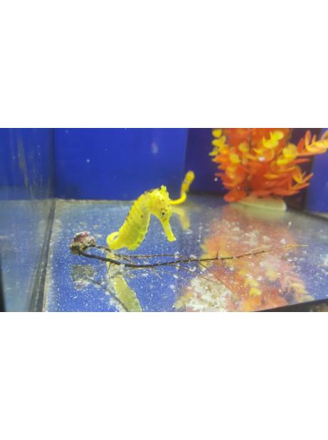 Hippocampus reidi XL