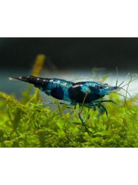 BLUE RILI SAKURA
