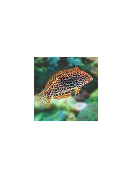 Macropharyngodon meleagris