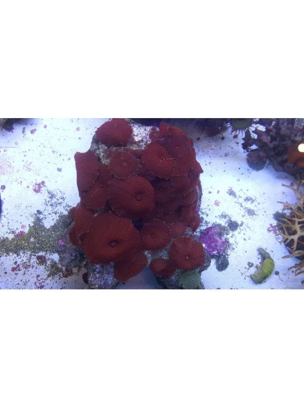 Discosoma rojo 1 Polipo