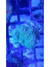 Ricordea florida blue