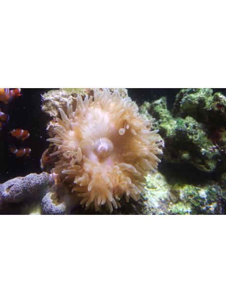 Ectacmaea quadricolor