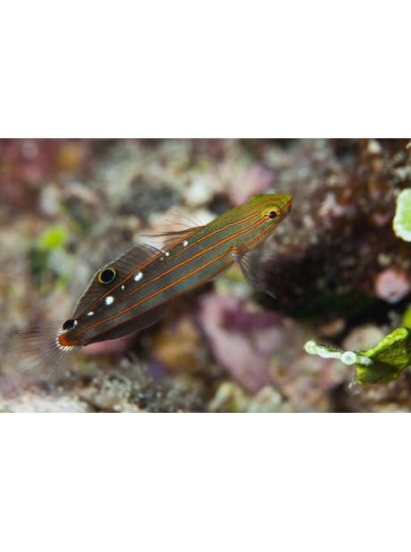 Amblygobius rainfordi