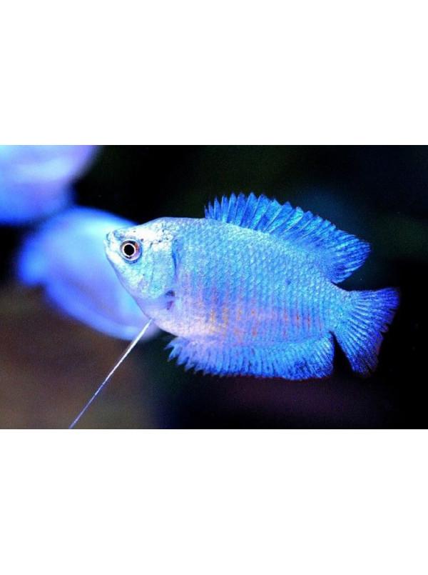 Colisa lalia Blue Electric