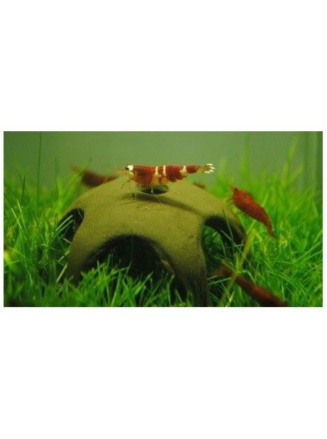 Shrimp star cerámicas Unidad