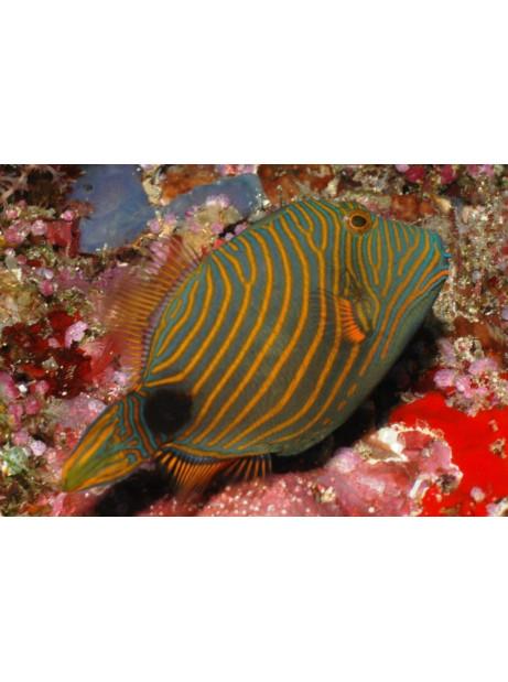 Balistoides undulatus