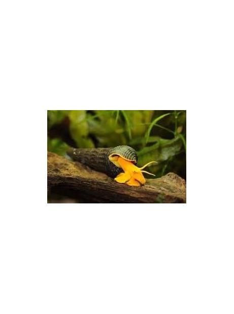 Tylomelania orange