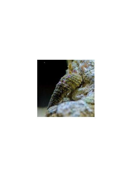 Cerithium spp.