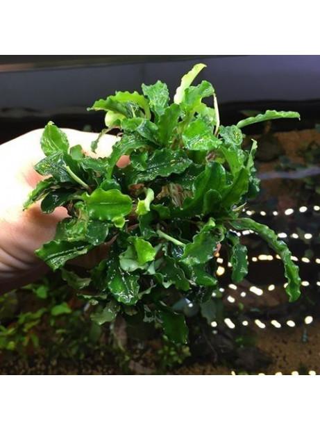 Bucephalandra wavy green Madre