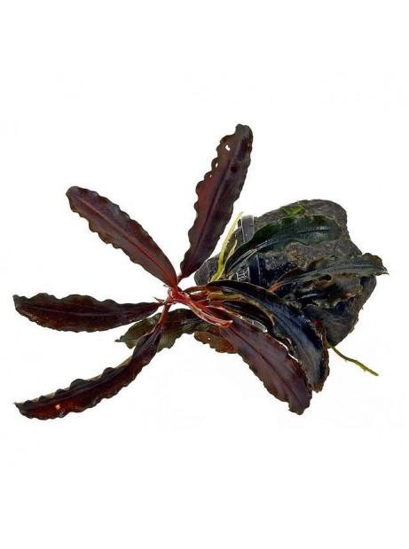 Bucephalandra kedagang classic