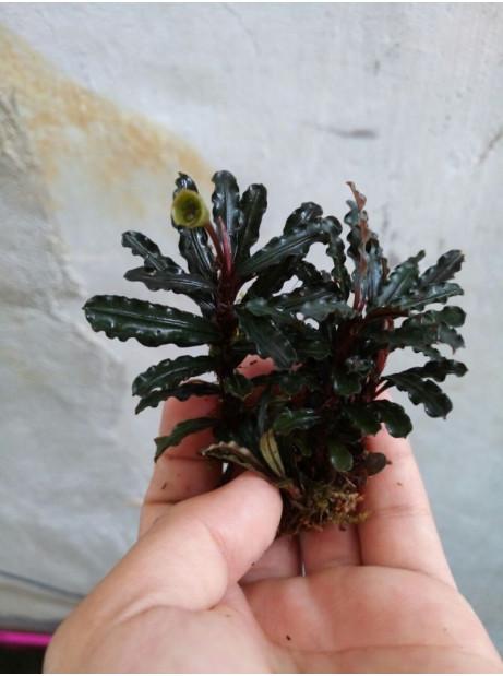 Bucephalandra pinoh blue