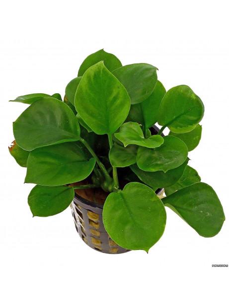 """Anubia barteri var """" Round Leaf """""""