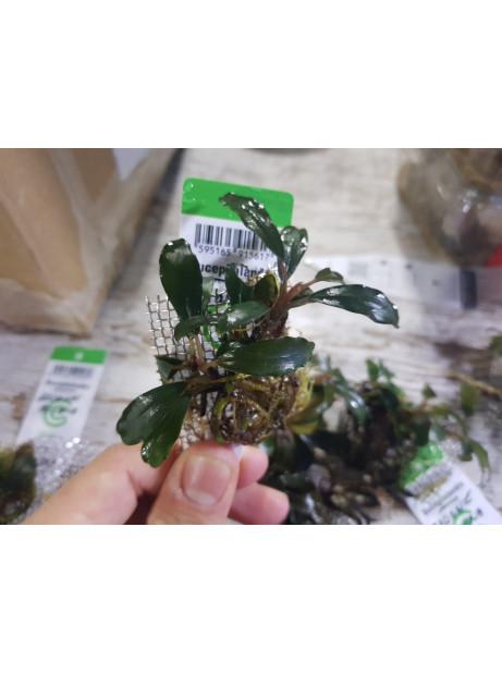 Bucephalandra brownie helena