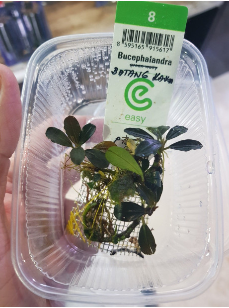 Bucephalandra batang kawa