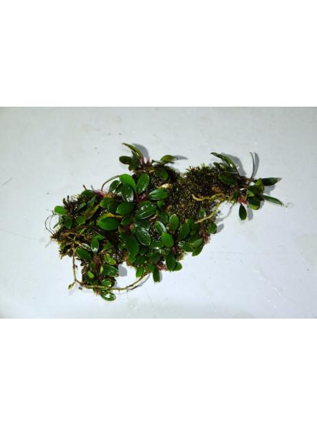 Bucephalandra penelope mini