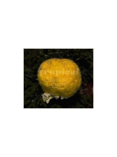 cinachyrella spp sponja amarilla