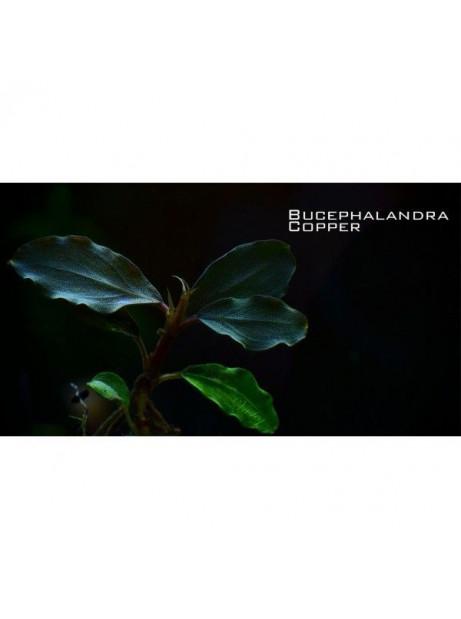 Bucephalandra cooper