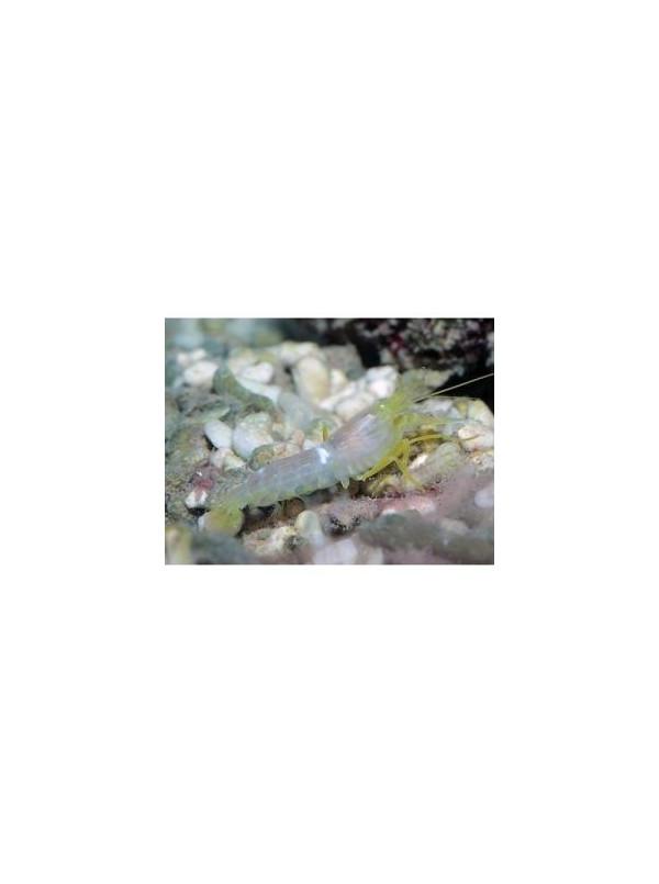 Alpheus ochrostriatus
