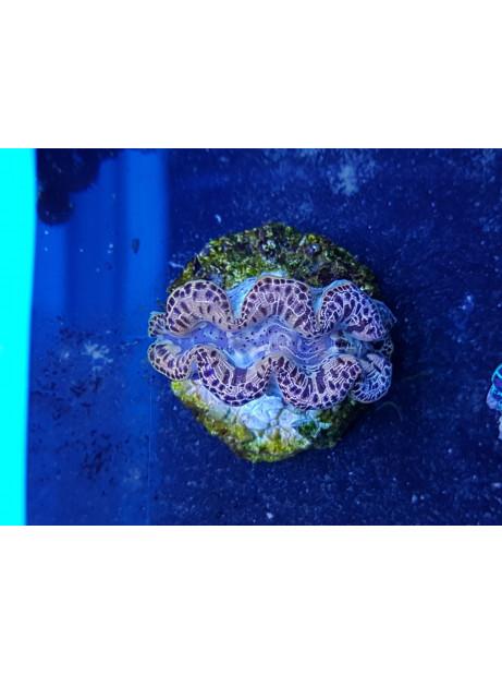 Tridacna maxima ultra M