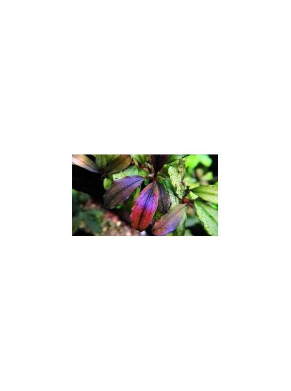 Bucephalandra brownie metalica