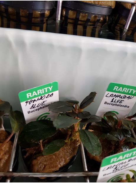 Bucephalandra pandora blue