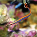 Doryrhamphus excisus