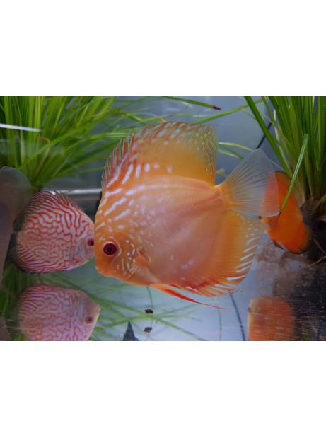 Disco Marlboro rojo albino 10-12cm