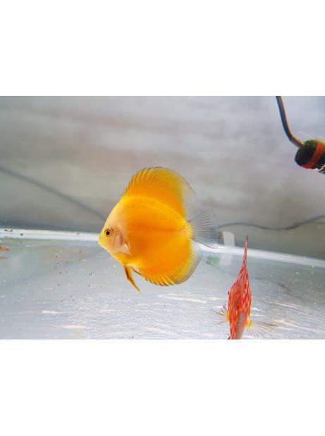 Disco Marlboro amarillo 6-7cm
