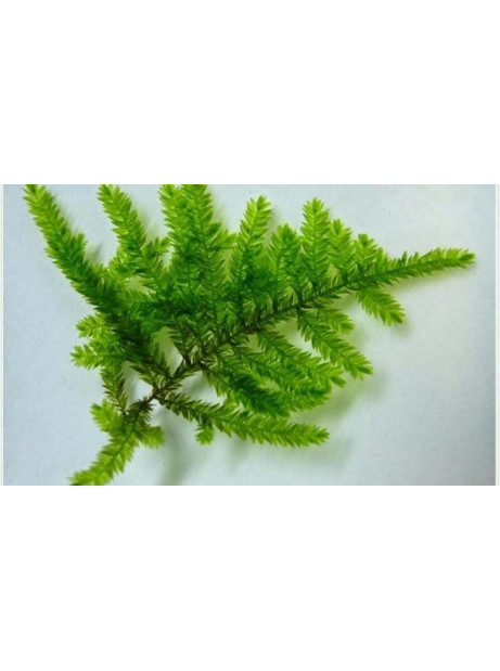 "Selaginella unicata ""Peacock moss"""