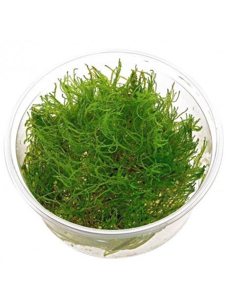 """Taxiphyllum alternans """" Taiwan moss"""""""