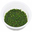 Riccardia chamedryfolia - tarrina