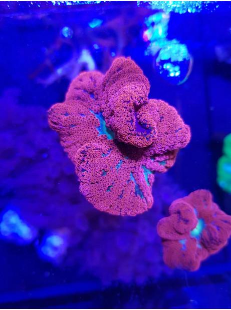 Stichodactyla mini red carpet