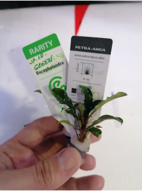 Bucephalandra sp. lo green