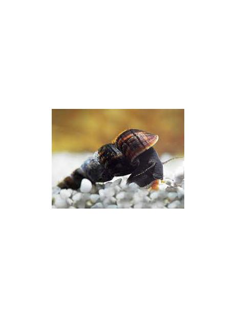 Tylomelania black
