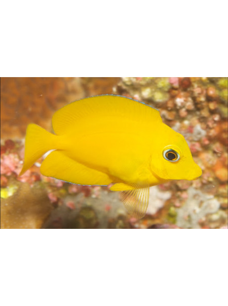 Ctenochaetus truncatus yellow