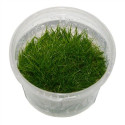 Eleocharis sp. ´Mini´