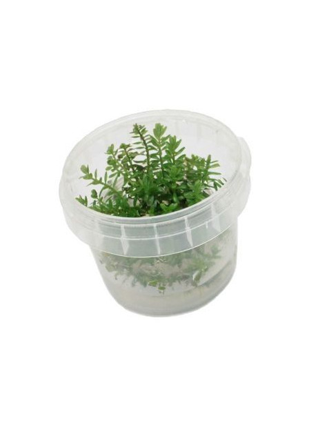 Rotala rotundifolia Green