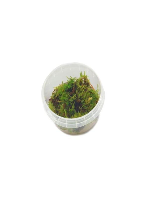 Vesicularia dubyana ´Chritsmas moss´ ¡musgo!