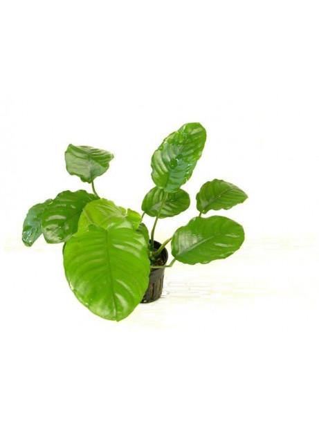 Anubias barteri var. caladifolia broad leaf