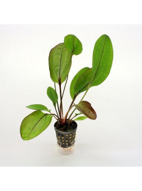 Echinodorus janii