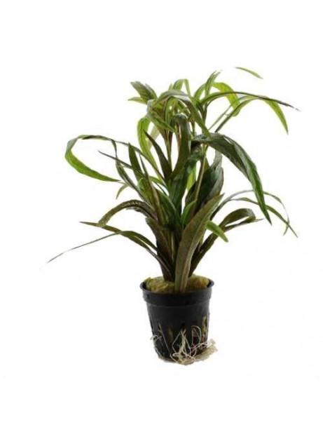 Hygrophyla salicifolia