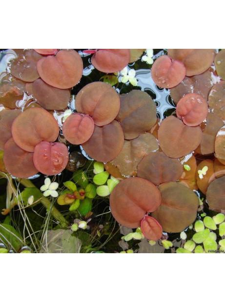 Phyllanthus fluitans ¡tarrina!