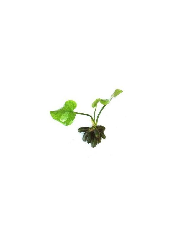 Nymphoides aquatica (banana plant)  ¡bulbo!