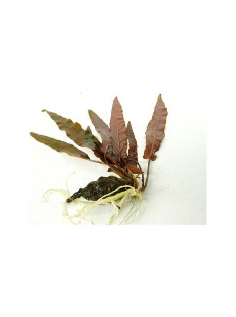 Barclaya longifolia ¡bulbo!