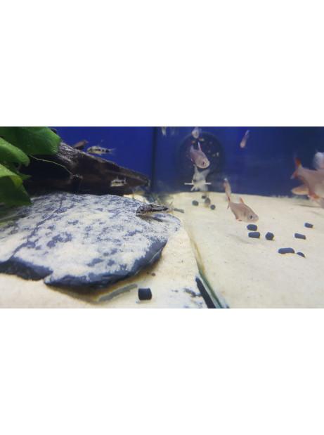 Corydoras habrosus