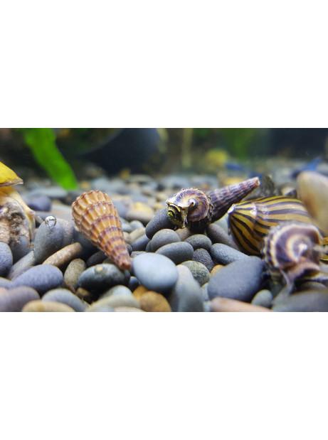 Tylomelania king snail
