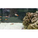 Nemateleotris magnifica