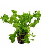 Plantas en maceta-Plantasygambas.com